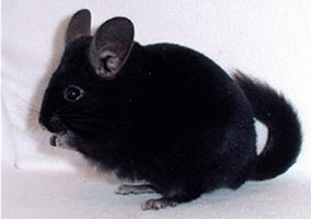 Homo ebony chinchilla for sale