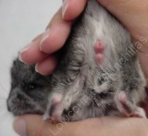 How to tell the sex of a chinchilla